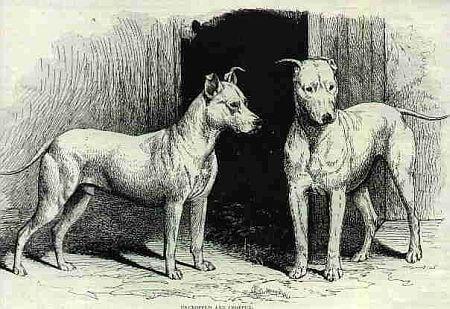 Bull en Terrier omstreeks 1800
