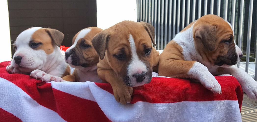 Vier puppy's op een rij